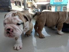 Lovely English Bulldog puppies