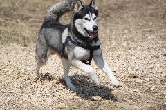 Siberian husky STUD service only