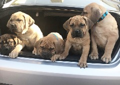 High Quality South African Mastiff imported