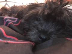 Female Shih Tzu puppy for sale