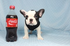 AKC Miniature French Bulldog in Las Vegas, Nevada!