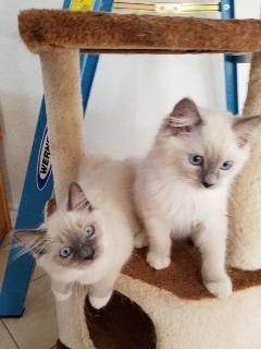 TICA Purebred Ragdolls Kittens