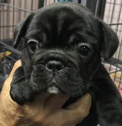 Pure Breed French Bulldog Puppies.. Shots, wormed, health guaranteed.