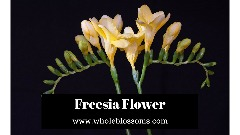 Order Gorgeous Freesia Flower from Whole Blossoms