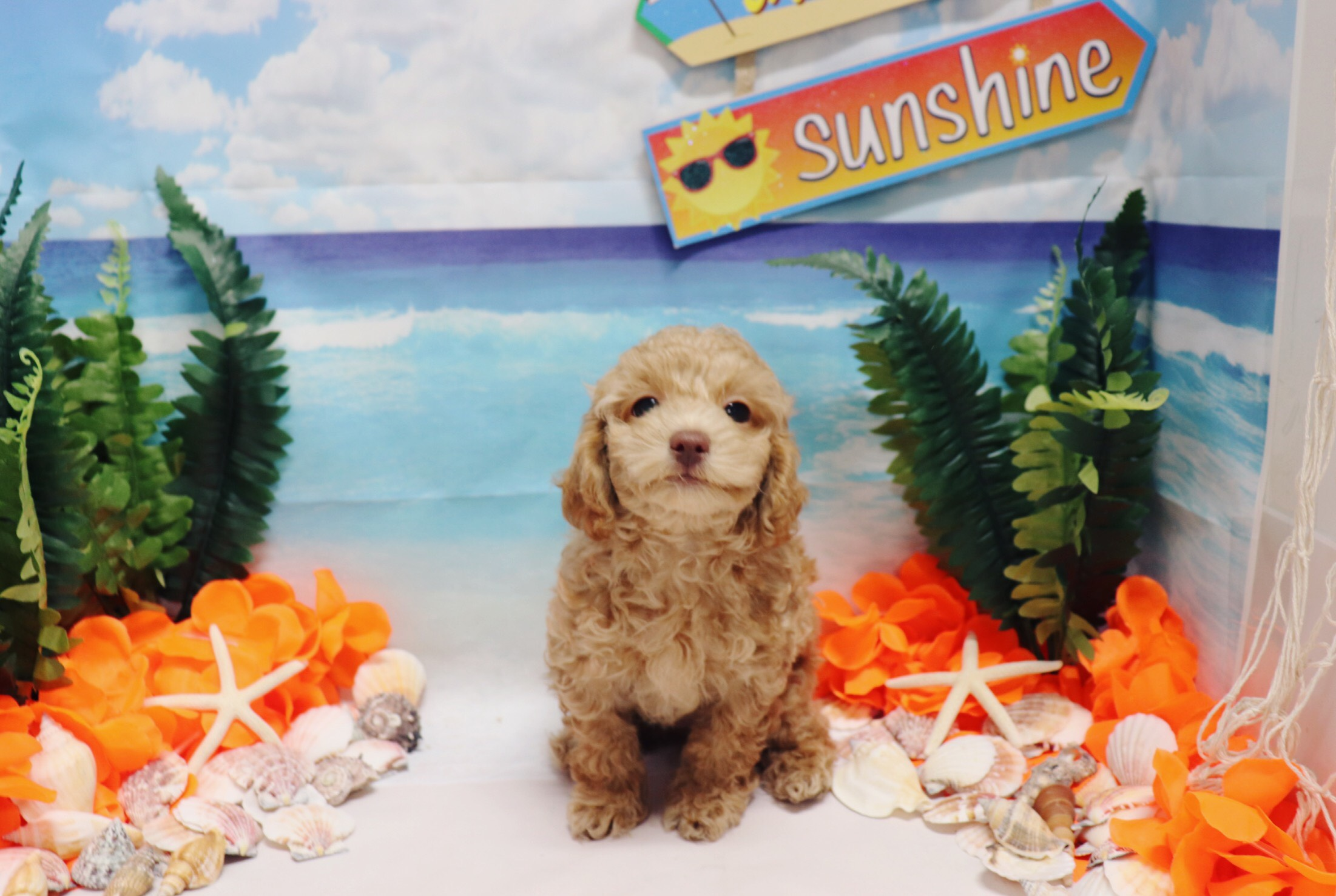 Toy Poodle - Asher - Male