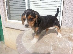 PUREBRED BEAGLE PUPPIES