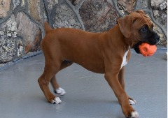 AKC Boxers Veterinarian raised puppies available