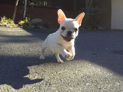 Registered French bulldogs for sale