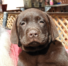 akc chocolate lab puppies