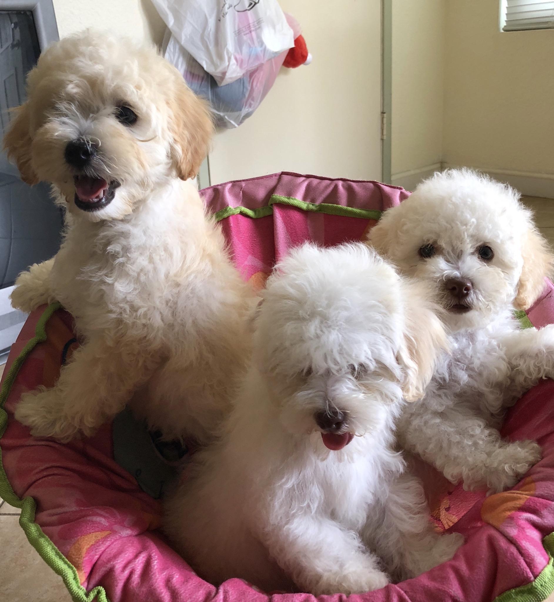 3 Maltipoo Puppies