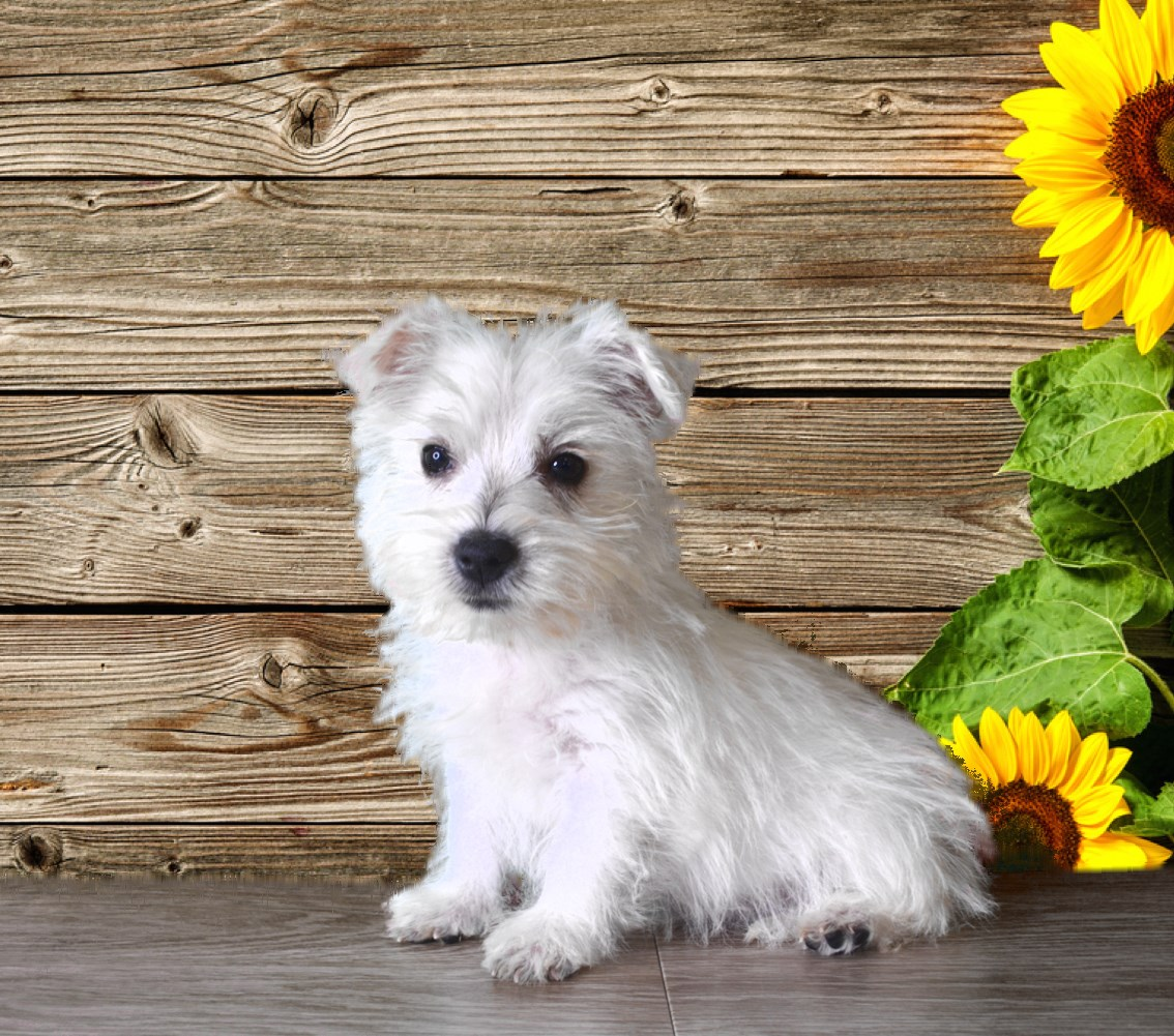 Penny the Westie (registered and micro-chipped)