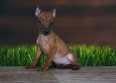 Miniature Pinscher Female