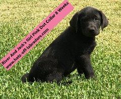 AKC Labradors Charcoal/Dilute Black