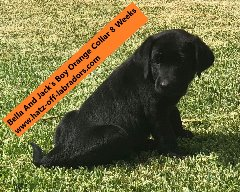 AKC Black Labrador Puppies