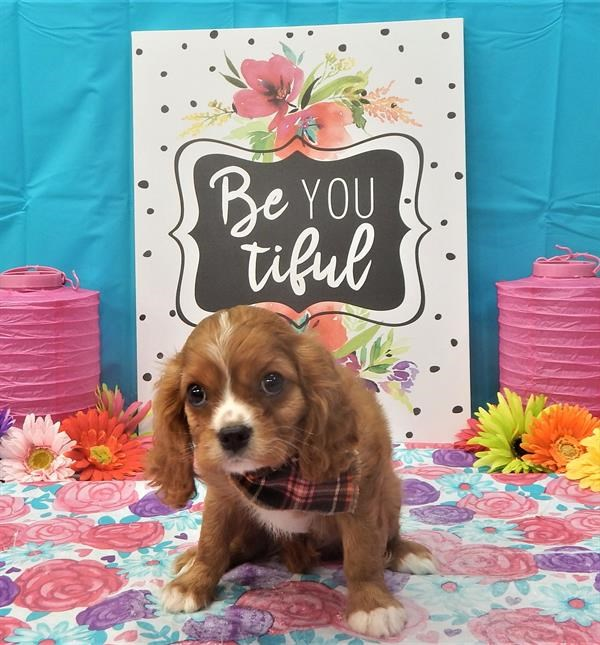 Registered and Chipped Cavalier King Charles Spaniel(male)