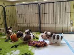 Shih Tzu Puppies Text Or Call (443) 304-7368)