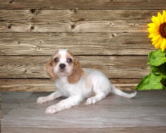 Adorable 10 wk old femal Havanese cocker Spaniel puppy