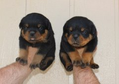 SUPERIOR QUALITY AKC GERMAN ROTTWEILER PUPPIES