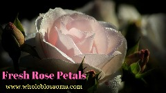 Get Flawless Rose Petals from Whole Blossoms at the Best Prices