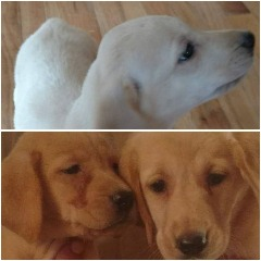 AKC American Yellow Labs
