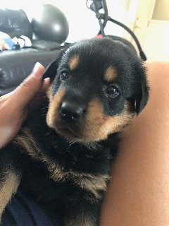 Rottweiler Puppy 5 weeks old