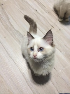 Ragdoll kittens available to go now.