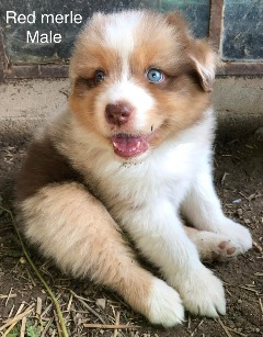 We have beautiful AKC Australian Shepherd puppies.