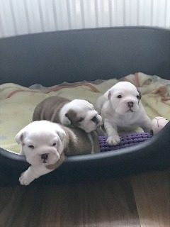 We have a little of English Bulldog Puppies For Rehoming