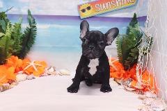 French Bulldog - Chanel - Female
