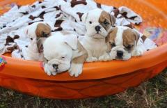 English Bulldog Puppies.. Text  (470) 223-0145
