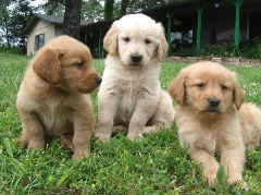 Golden Retriever Puppies Text (470) 223-0145