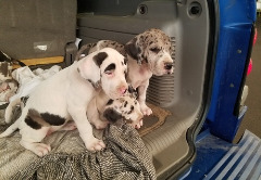 Great Dane Puppies Text (470) 223-0145