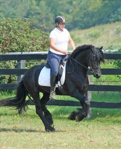 Handsome looking Friesian horse