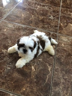 "12weeks shih tzu puppy ::""#"