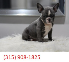 Potty Trained Male and Female French Bulldog puppies for sale