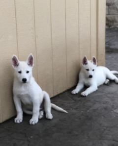 All-white German Shepherd/Husky mix puppies for sale