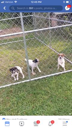 Mountain Feist Puppies