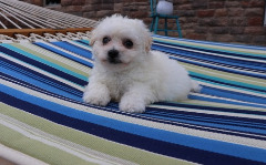 Rehoming Bichon Frise puppies, Pure  Breed- For sale!