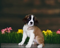 Loving And Loyal Saint Bernard
