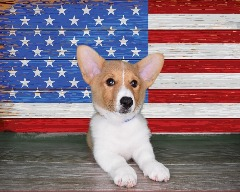 Sweet Little Pembroke Welsh Corgi