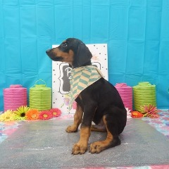 Handsome Little Doberman Pinscher