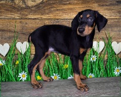 Beautiful Little Femail Doberman Pincsher