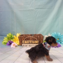 Purebred Male Yorkshire Terrier