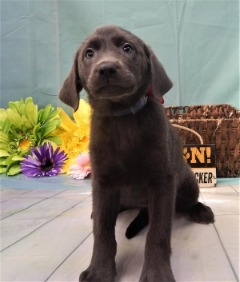 She is the Belle of the ball (AKC FEMALE LAB)