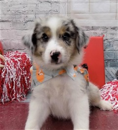 Papered/Microchipped Australian Shepherd