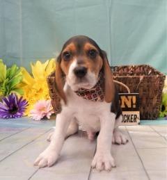 Purebred Beagle!
