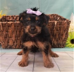 Papered Female Yorkie!