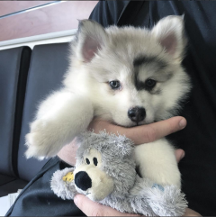 Gorgeous Pomsky Puppies Looking For Good Homes/ (757) 788-3540