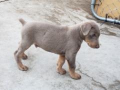4 Doberman pinscher puppies