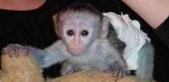 Cute and Pretty Baby Capuchin,Marmoset and Squirrel Monkeys for Adoption 757-384-2105